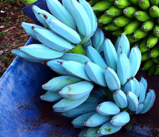 Blue Java Banana Best things You need to Know 2020